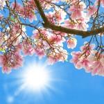 Magnolia in the sun